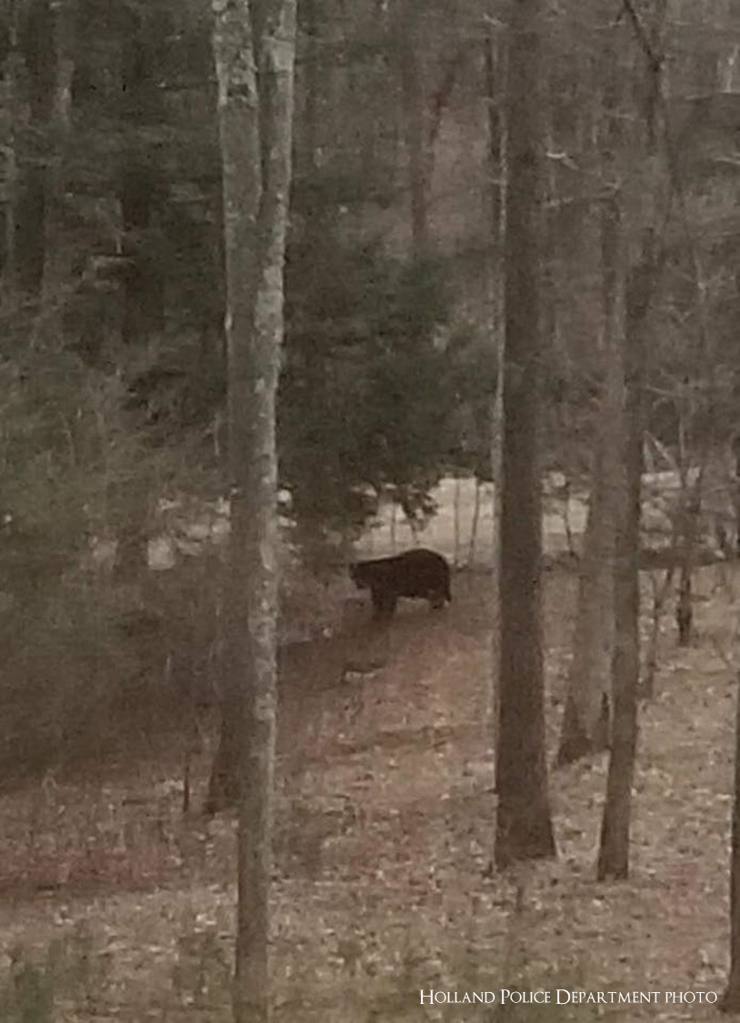 Bear spotted in Holland, officials urge it is 'not an immediate public safety threat'
